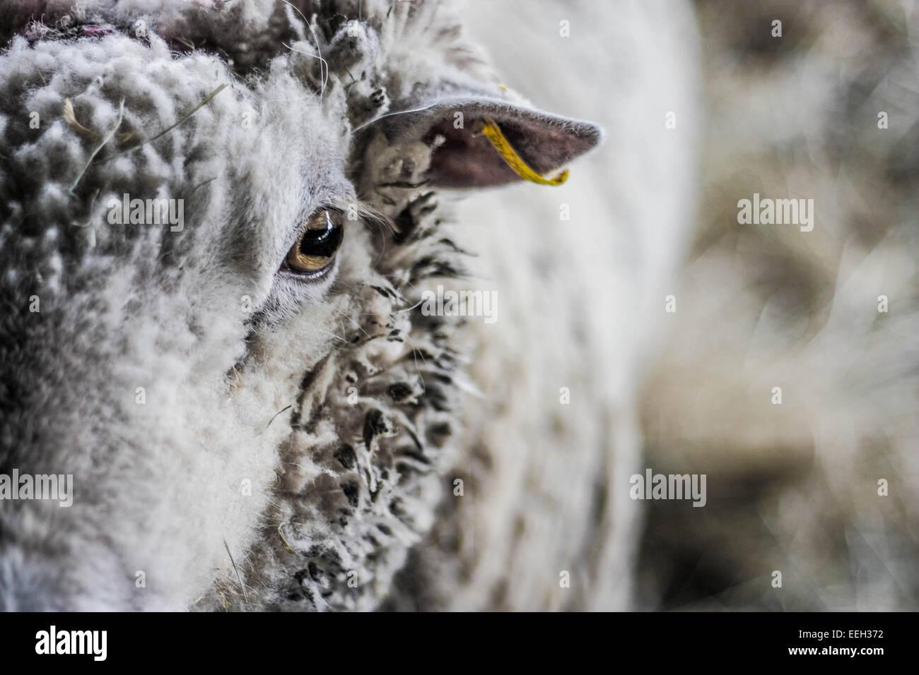 Ram portrait - Stock Image