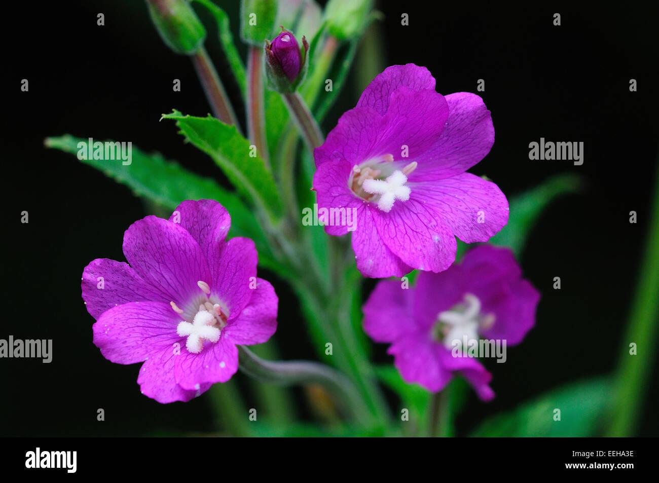 great willowherb, epilobium hirsutum - Stock Image