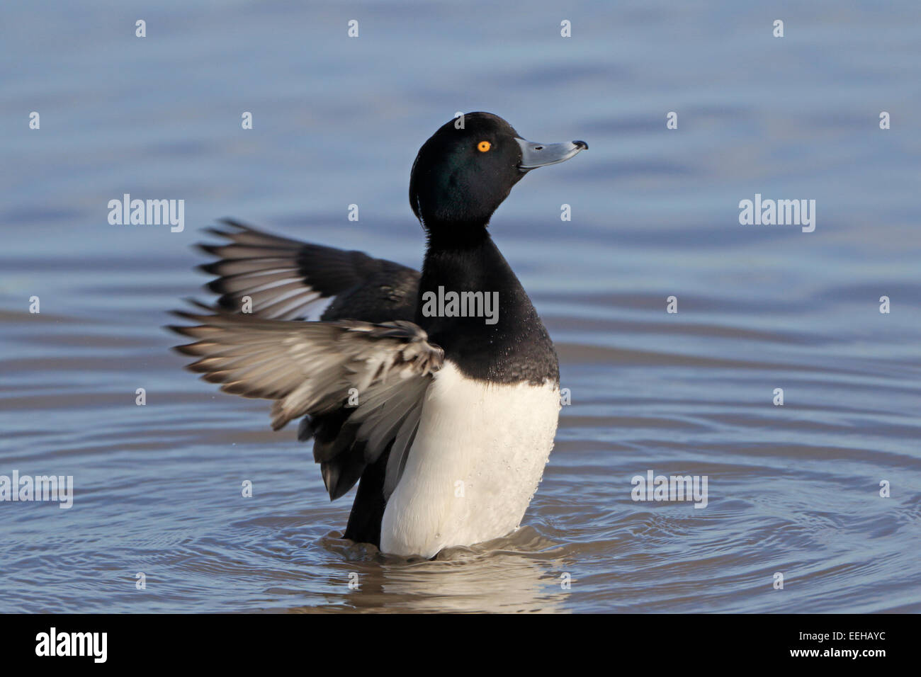 Male Tufted Duck flapping its wings - Stock Image