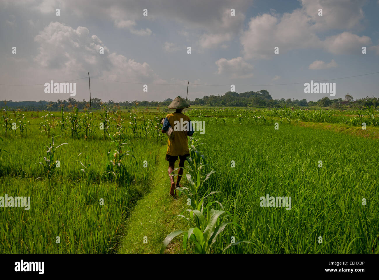 A Javanese farmer walks on a paddy field embankment in Blora, Central Java, Indonesia. - Stock Image