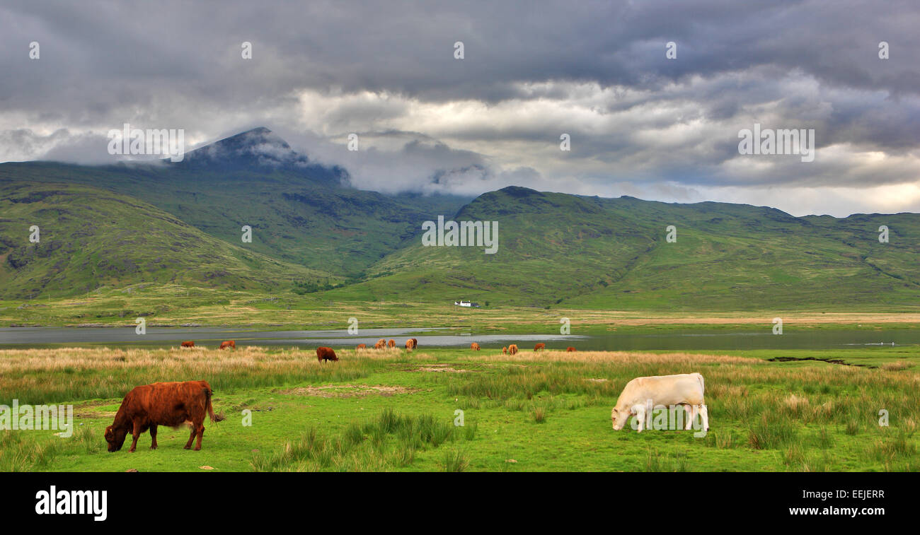 Cows grazing on the grass below a cloudy covered Ben More on the isle of Mull - Stock Image