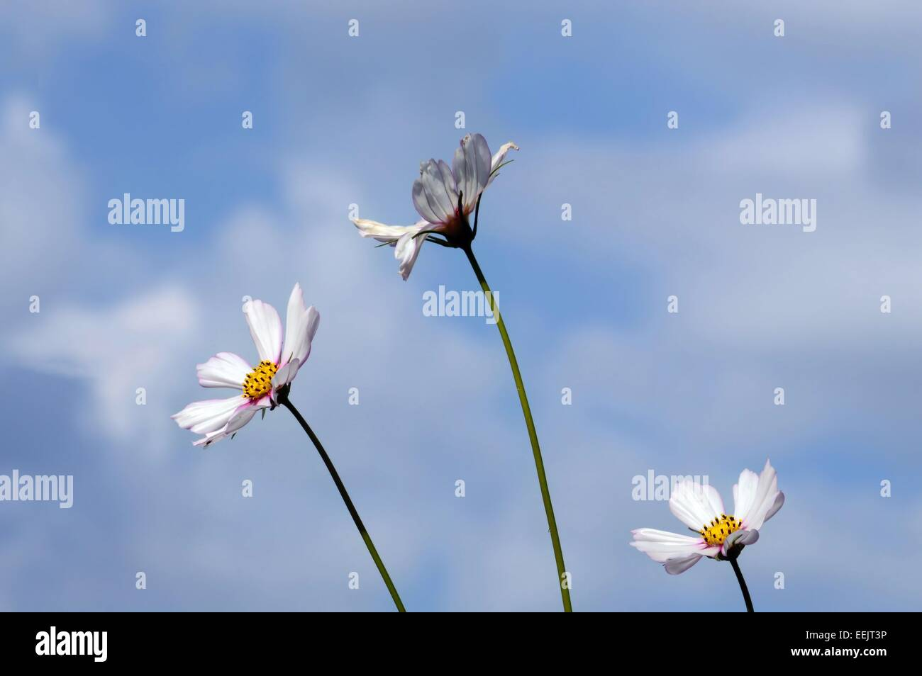 White puffy flowers stock photos white puffy flowers stock images three white flowers against blue sky with white puffy cloudscosmosflowers in the mightylinksfo