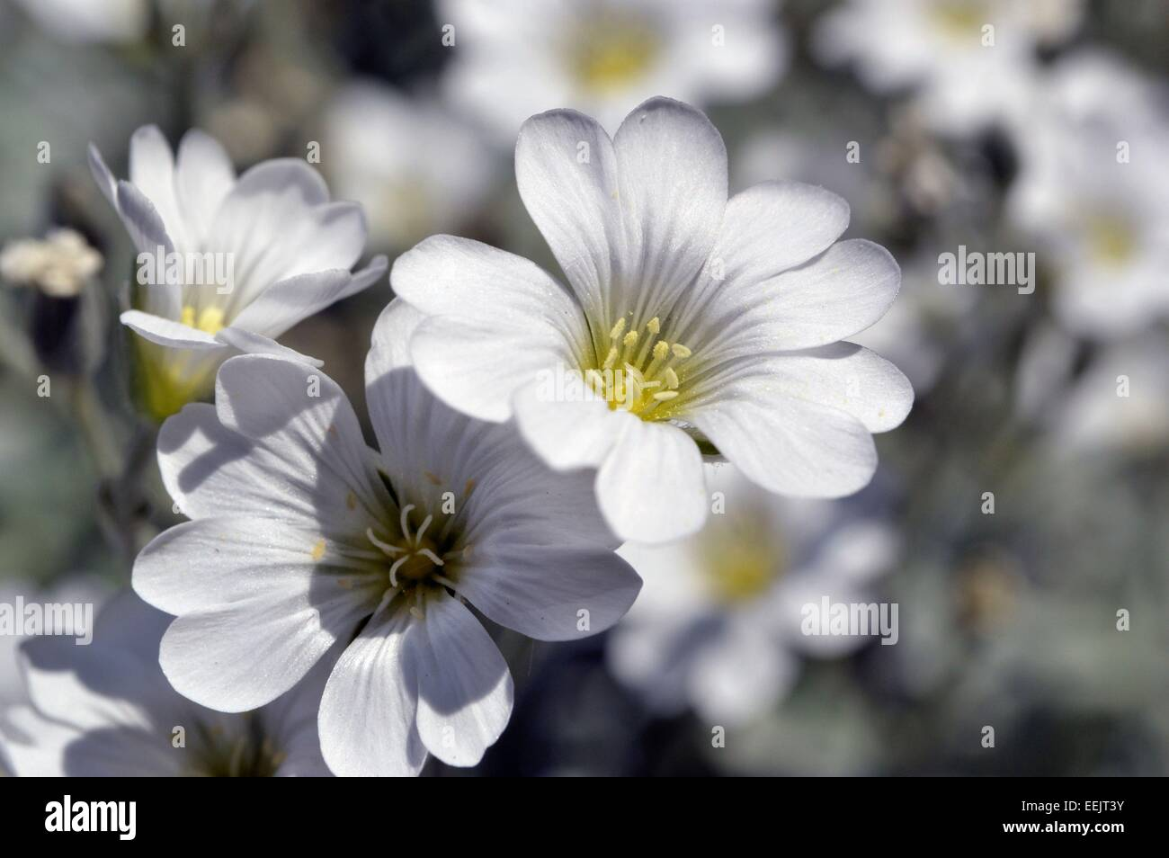 White flowers with yellow centers stock photos white flowers with lovely sunlit white flowers to the left in full focus with other white flowers in background mightylinksfo