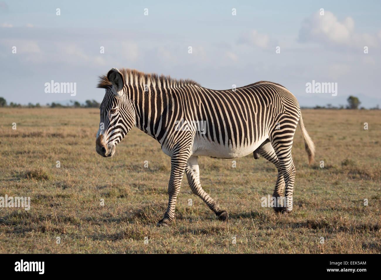 Lone Grevy's Zebra stallion (Equus grevyi) walking across a grassy plain - Stock Image