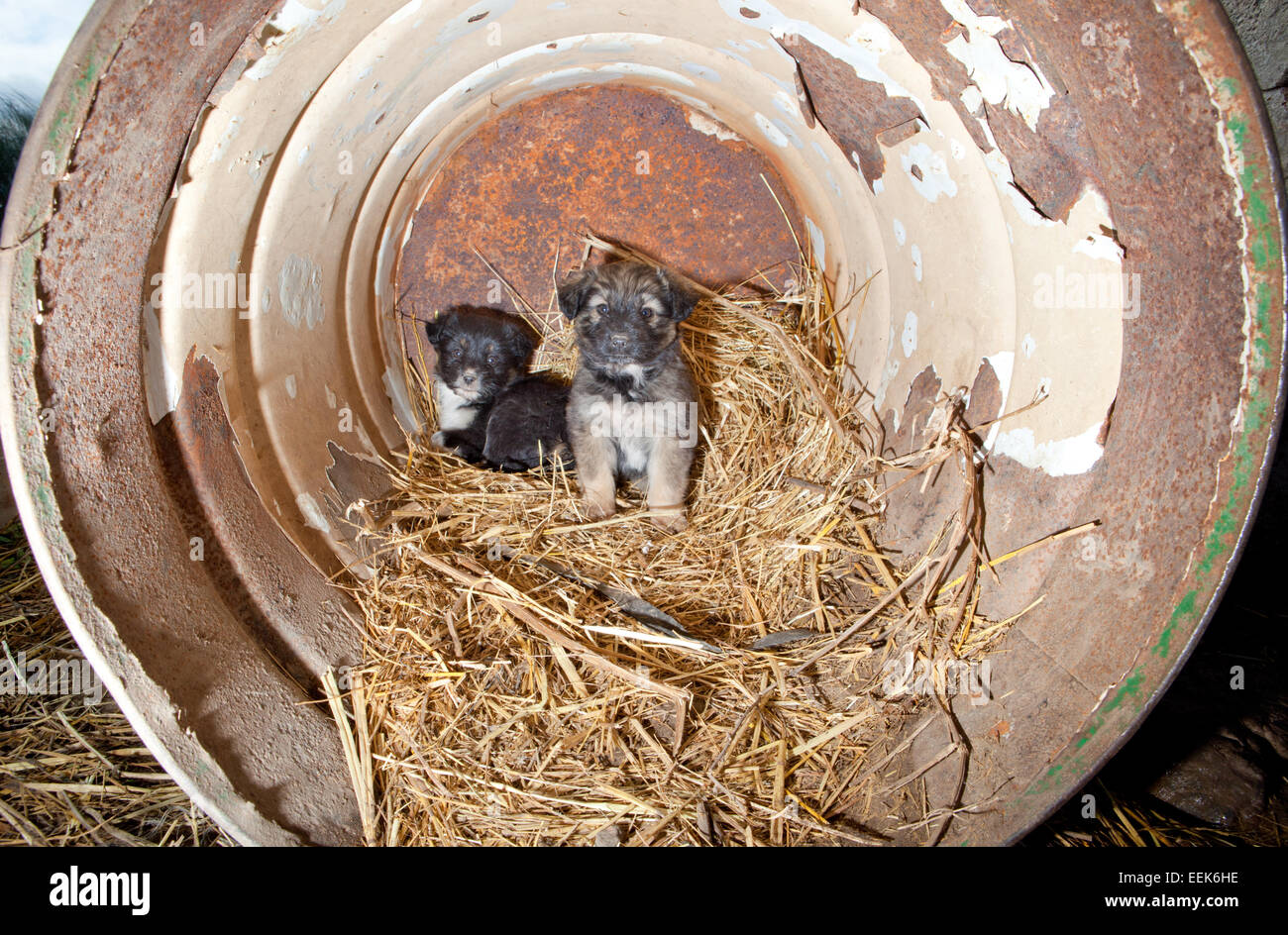 Cute puppies dogs at country state sleeping inside a large rusty can - Stock Image