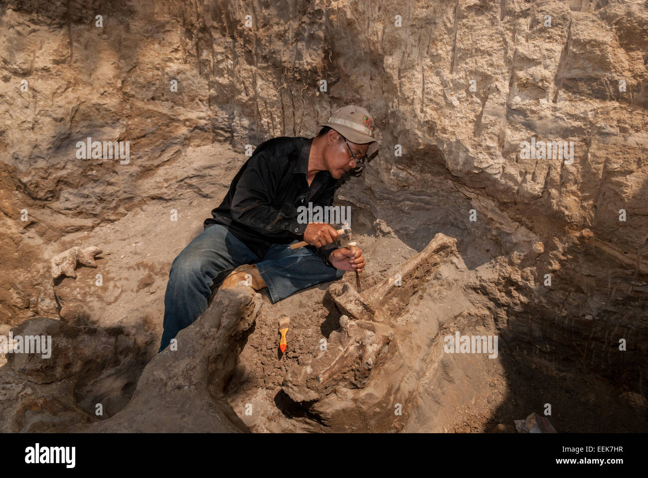 Indonesian paleontologist excavating Blora Elephant (Elephas hysudrindicus) fossils in Central Java. - Stock Image