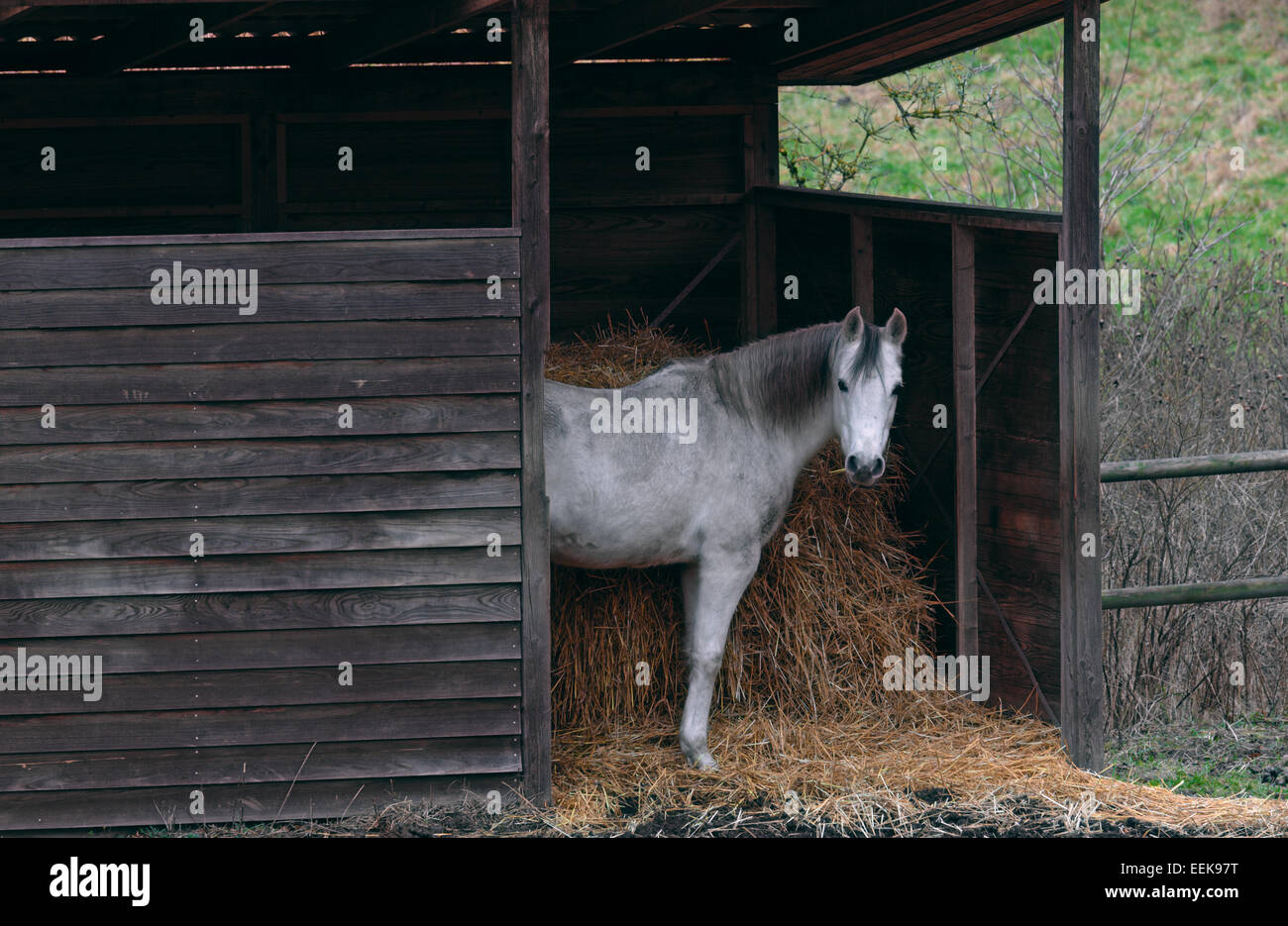 Dapple gray horse standing in shed looking straight at you. - Stock Image