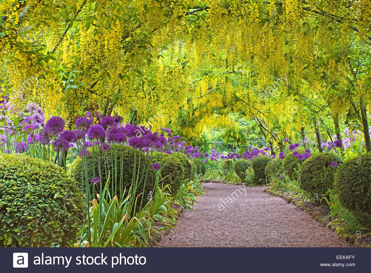 Laburnam arch with Allium borders - Dorothy Clive Gardens - Stock Image