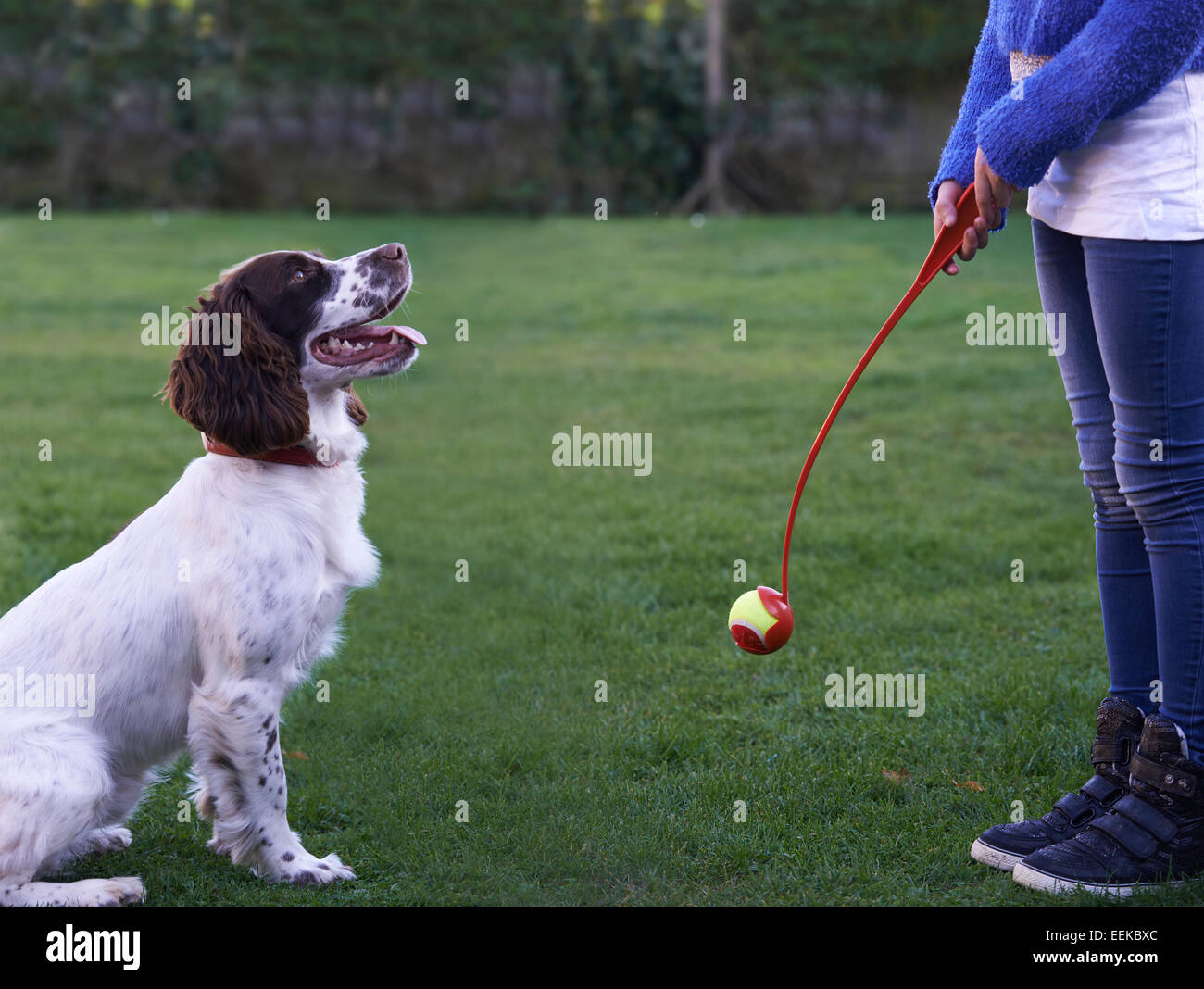 Girl Throwing Ball For Pet Spaniel Dog In Garden Stock Photo
