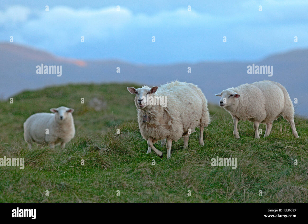 Grazing sheep with lambs at the Atlantic coast, Norway - Stock Image