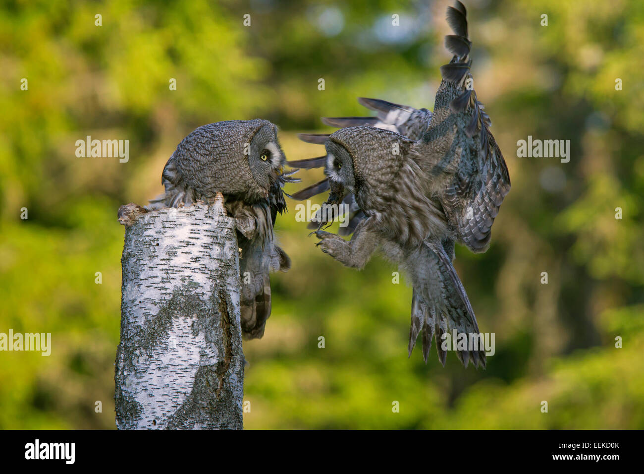 Great grey owl / great gray owl (Strix nebulosa) male bringing mouse to nesting female to feed the chicks in tree - Stock Image