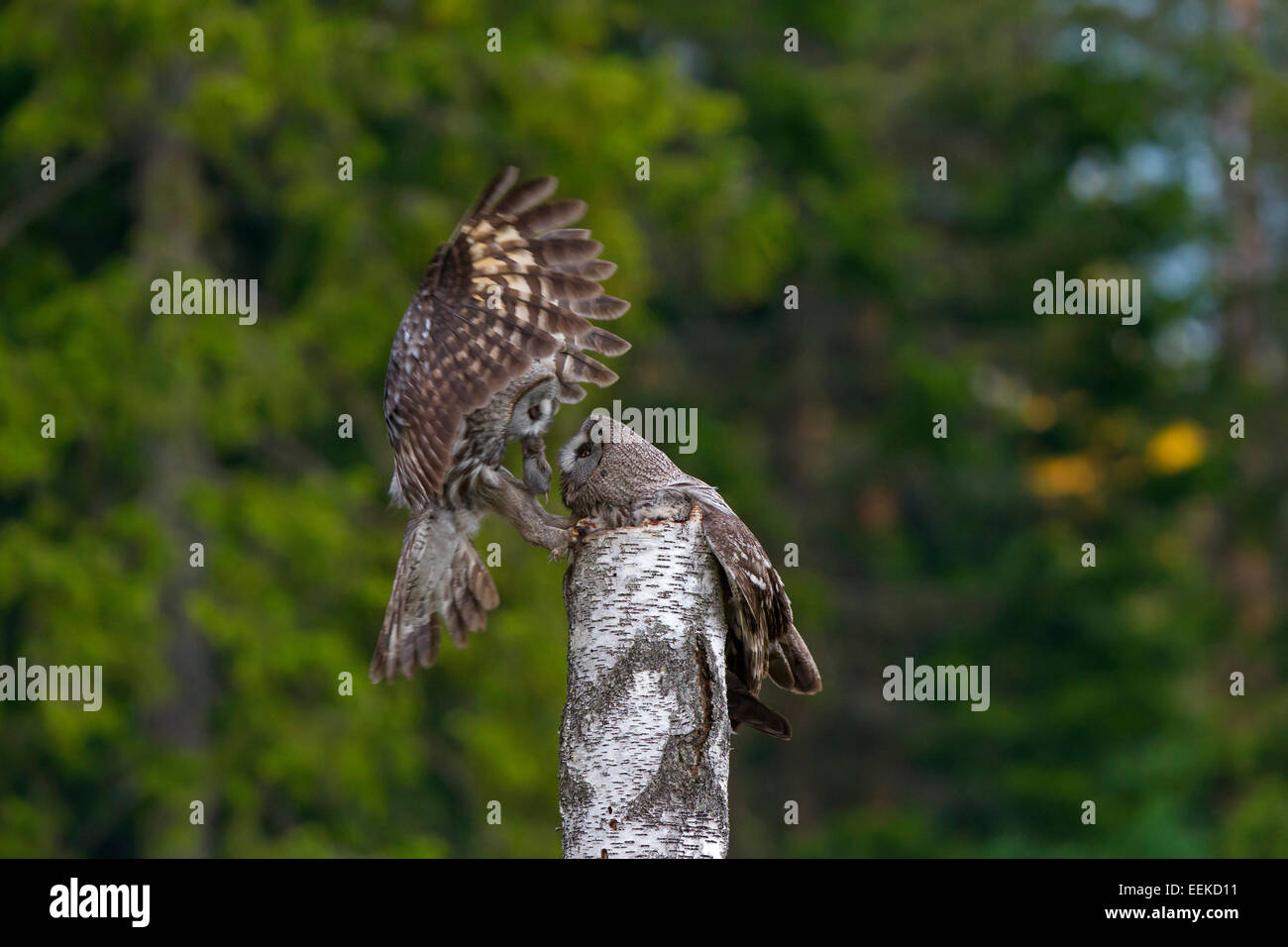 Great grey owl / great gray owl (Strix nebulosa) male bringing mouse to female to feed the chicks in nest on top - Stock Image