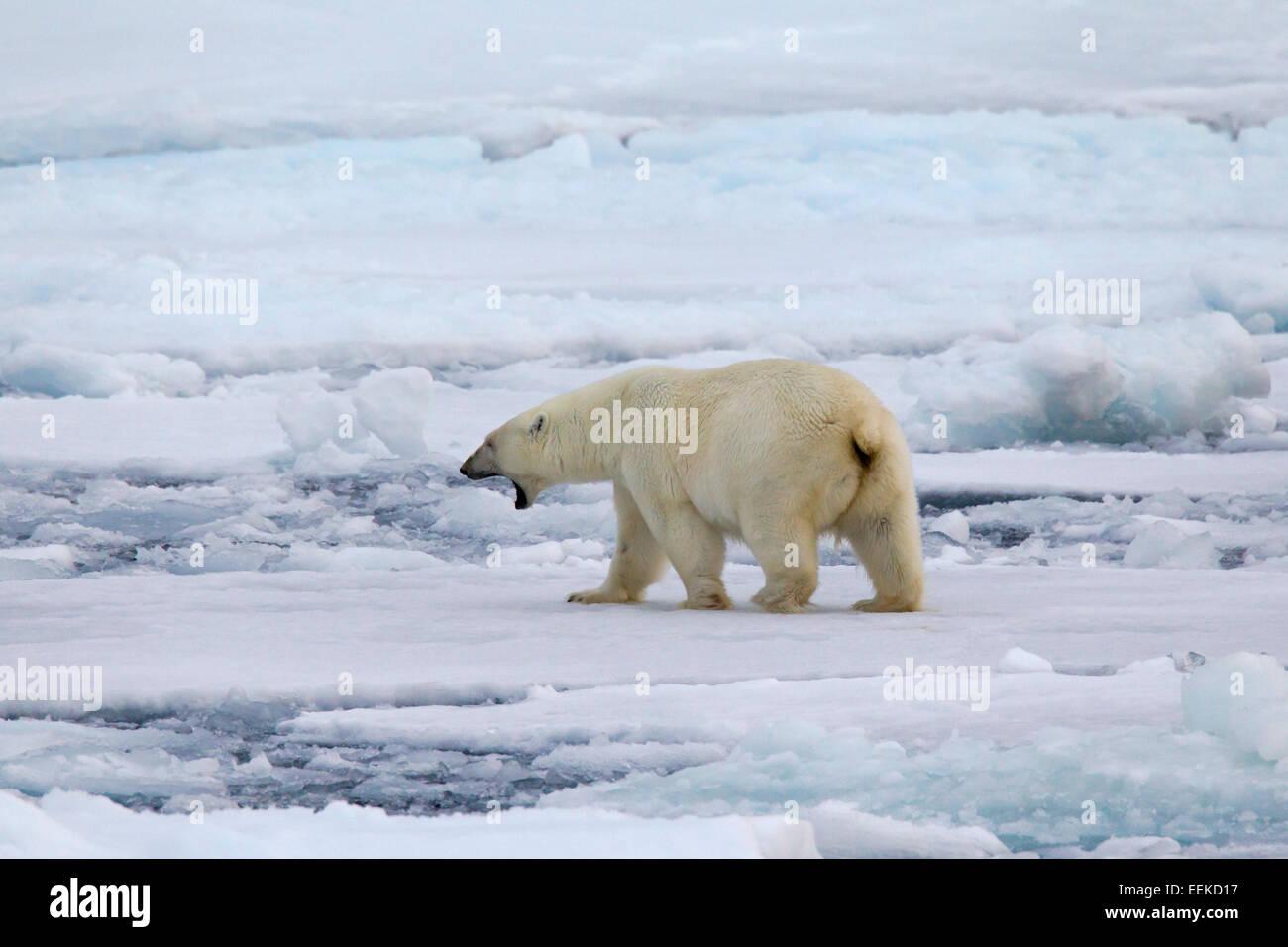 Grunting Polar bear (Ursus maritimus / Thalarctos maritimus) walking on pack ice, Svalbard, Norway - Stock Image