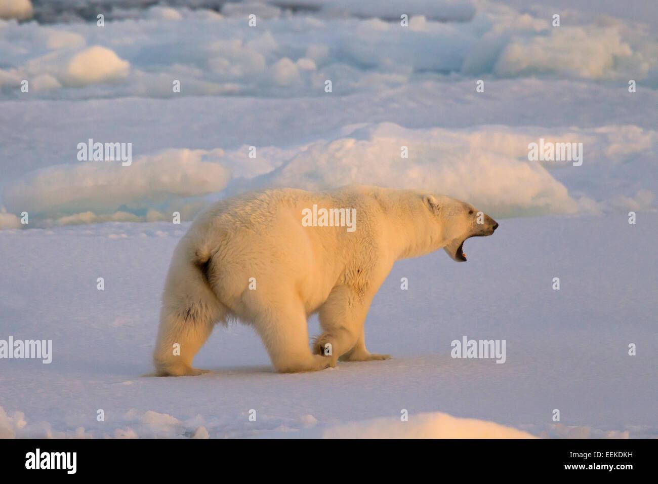 Grunting Polar bear (Ursus maritimus / Thalarctos maritimus) walking on pack ice at sunset, Svalbard, Norway - Stock Image