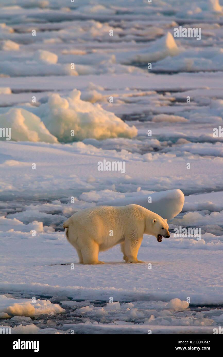 Growling Polar bear (Ursus maritimus / Thalarctos maritimus) walking on pack ice at sunset, Svalbard, Norway - Stock Image