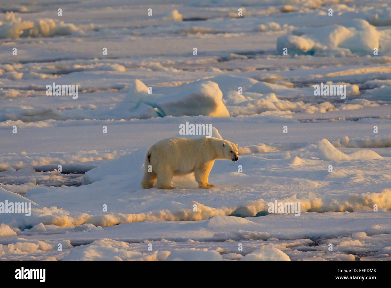 Polar bear (Ursus maritimus / Thalarctos maritimus) walking on pack ice at sunset, Svalbard, Norway Stock Photo