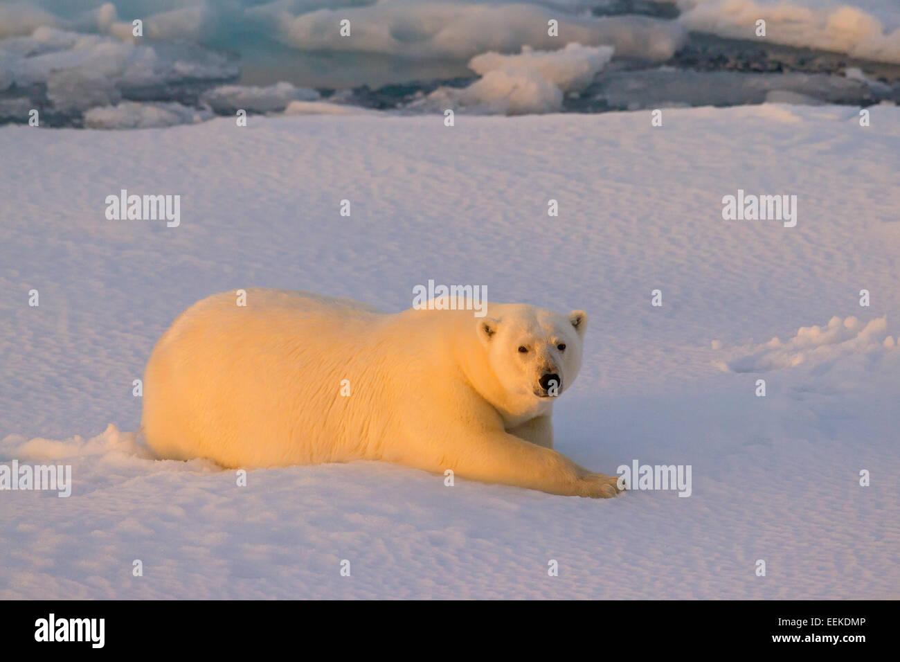 Polar bear (Ursus maritimus / Thalarctos maritimus) resting on pack ice at sunset, Svalbard, Norway Stock Photo