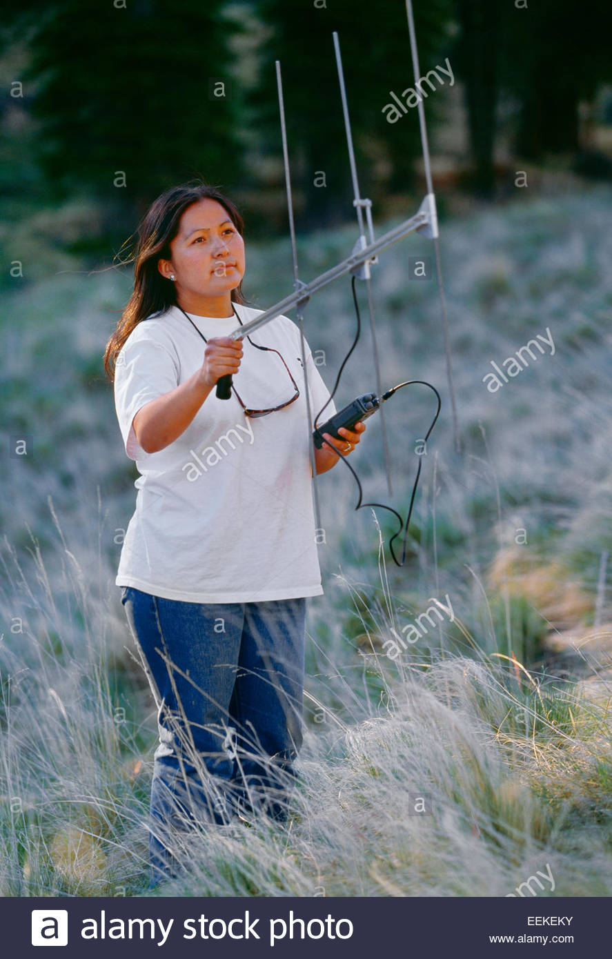 Krista Beazley, biologist, radio tracking wild Mexican wolves denning nearby.  White Mountain Apache reservation, - Stock Image