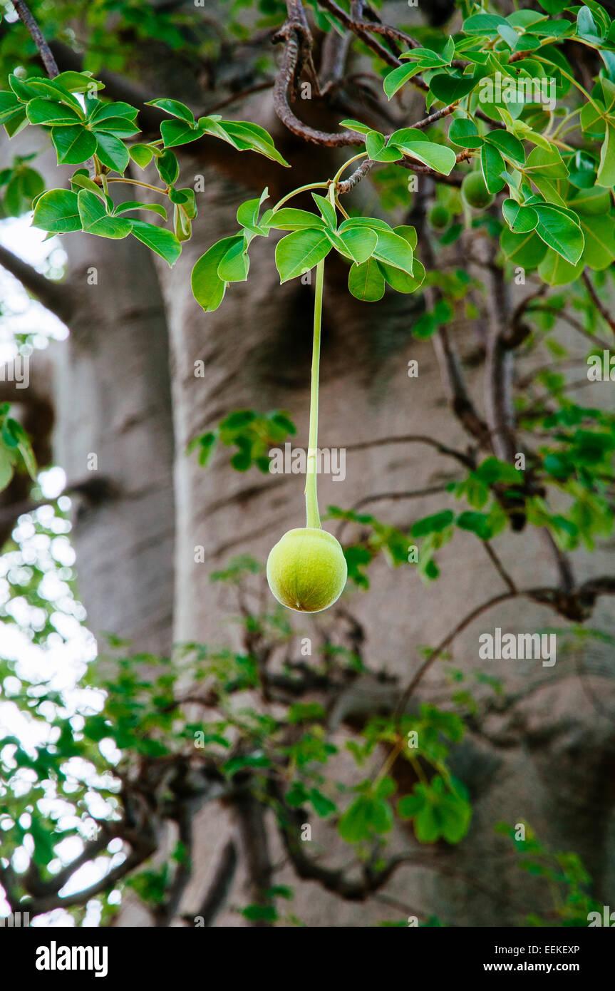 Baobab tree fruit, Mali. Stock Photo
