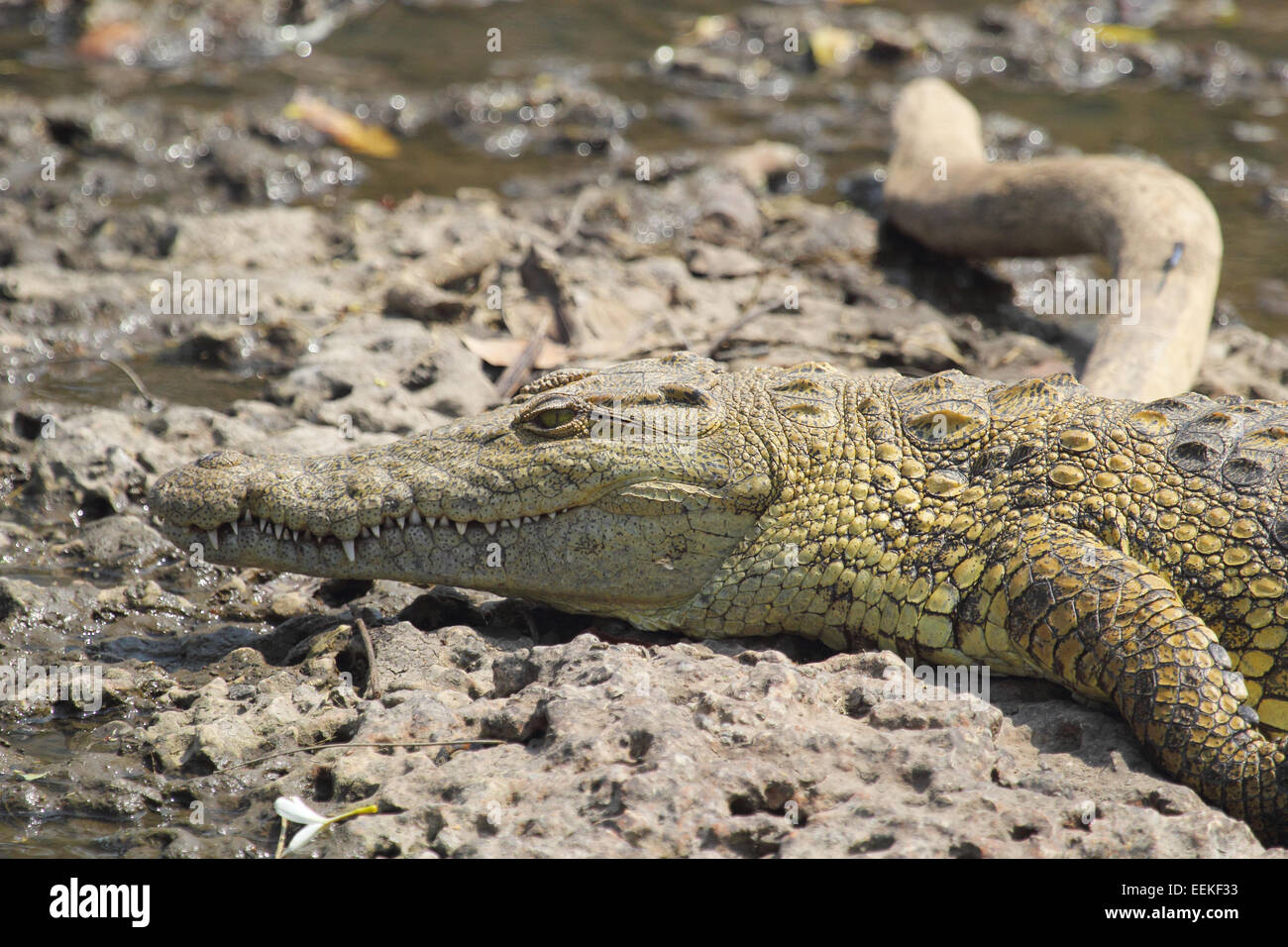A young Nile Crocodile, Crocodylus niloticus, near the water in Serengeti National Park, Tanzania Stock Photo