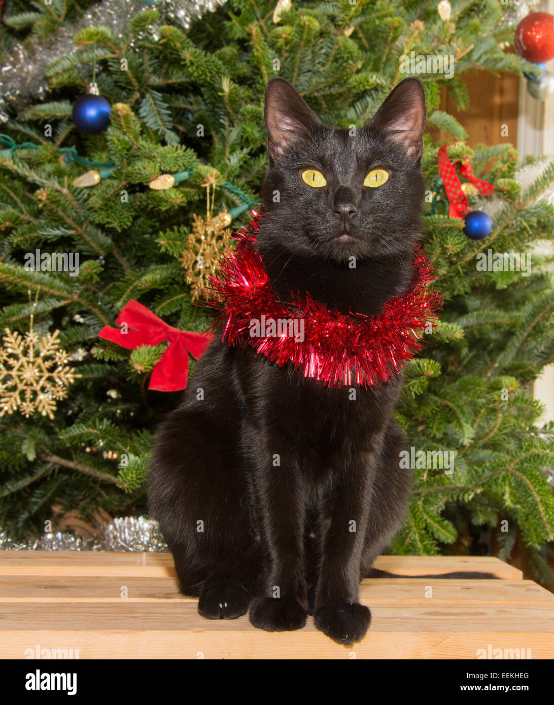 small black cat in front of a christmas tree wearing red tinsel around her neck - Black Cat Christmas Tree