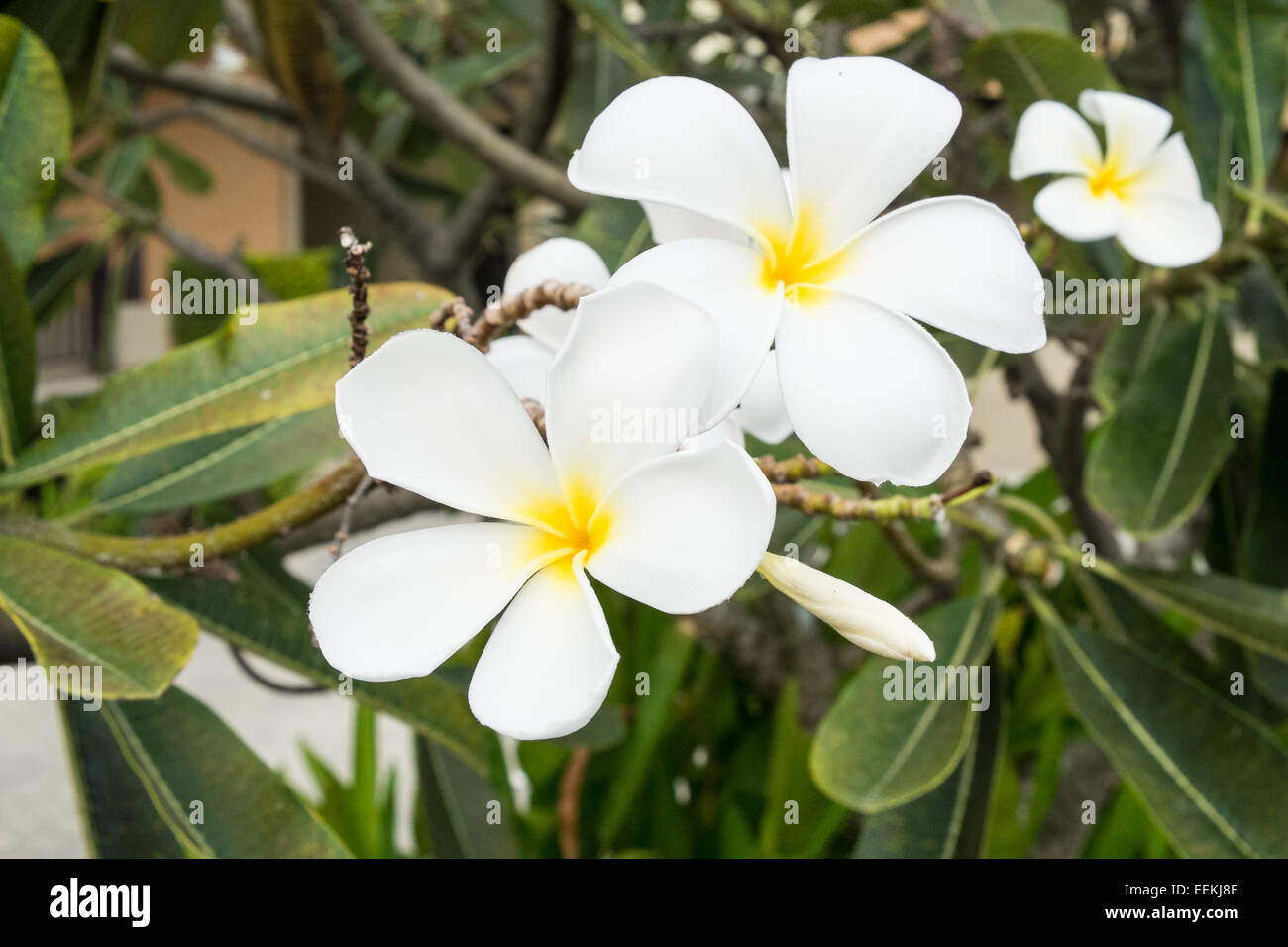 Five Petal White Flowers Frangipani Stock Photos Five Petal White
