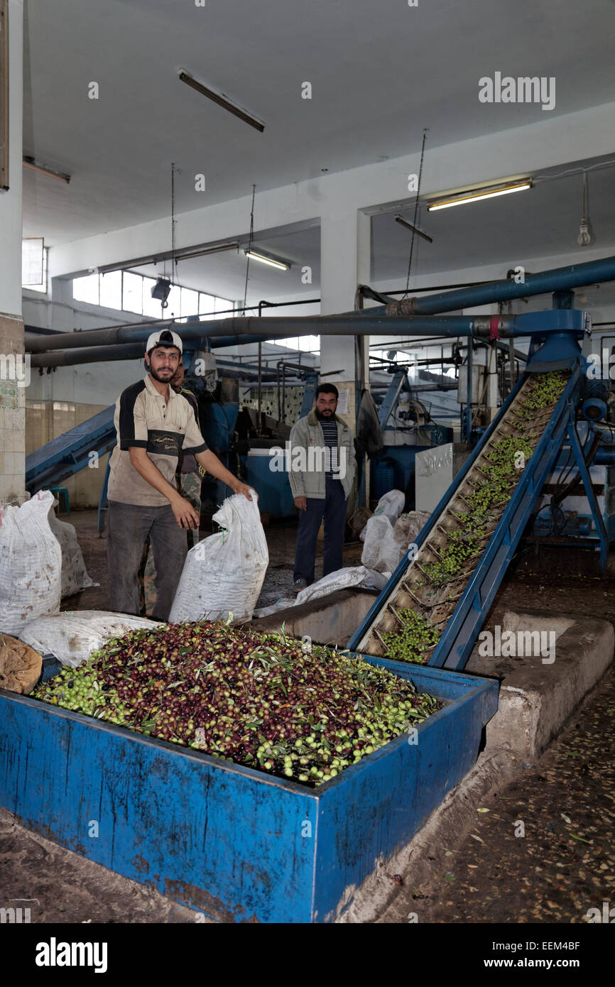 Man emptying bags of olives into containers, with a conveyor belt, olive oil mill, Madaba, Jordan - Stock Image