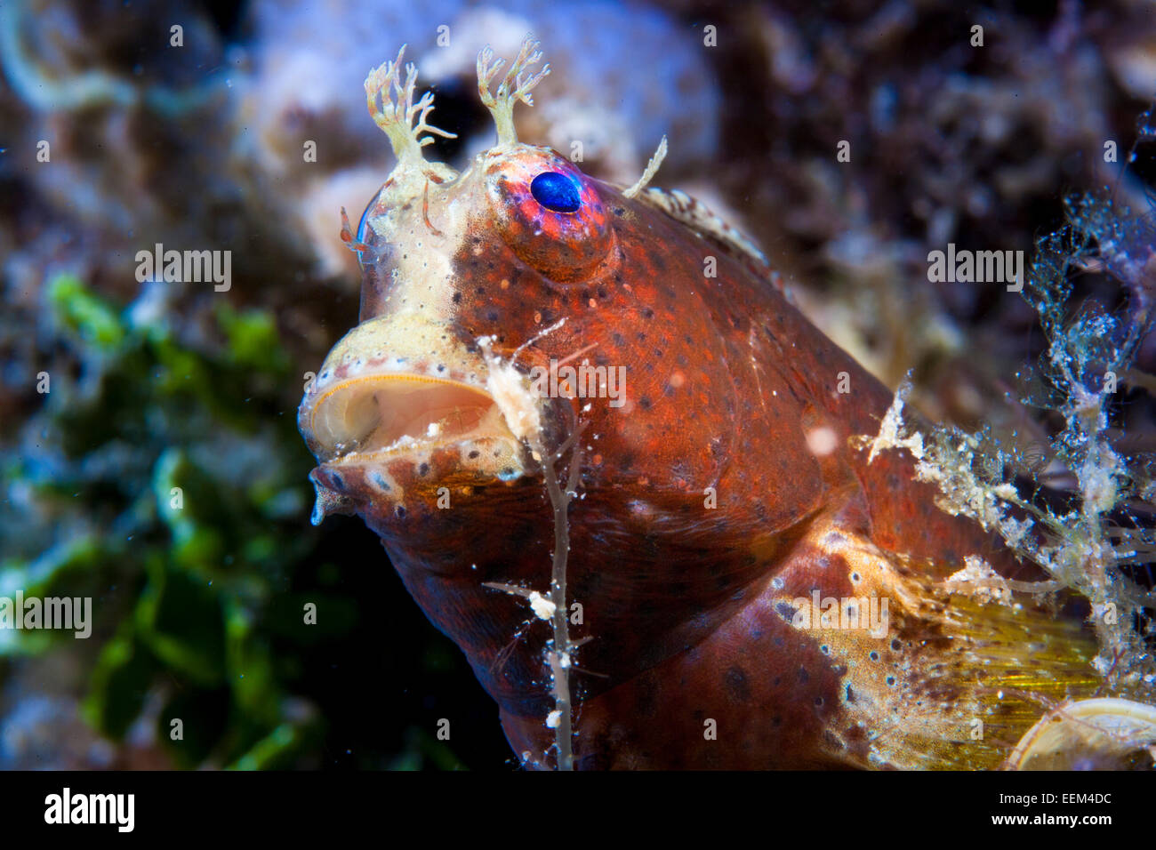 Obscure Blenny (Salarias obscurus), Philippines - Stock Image