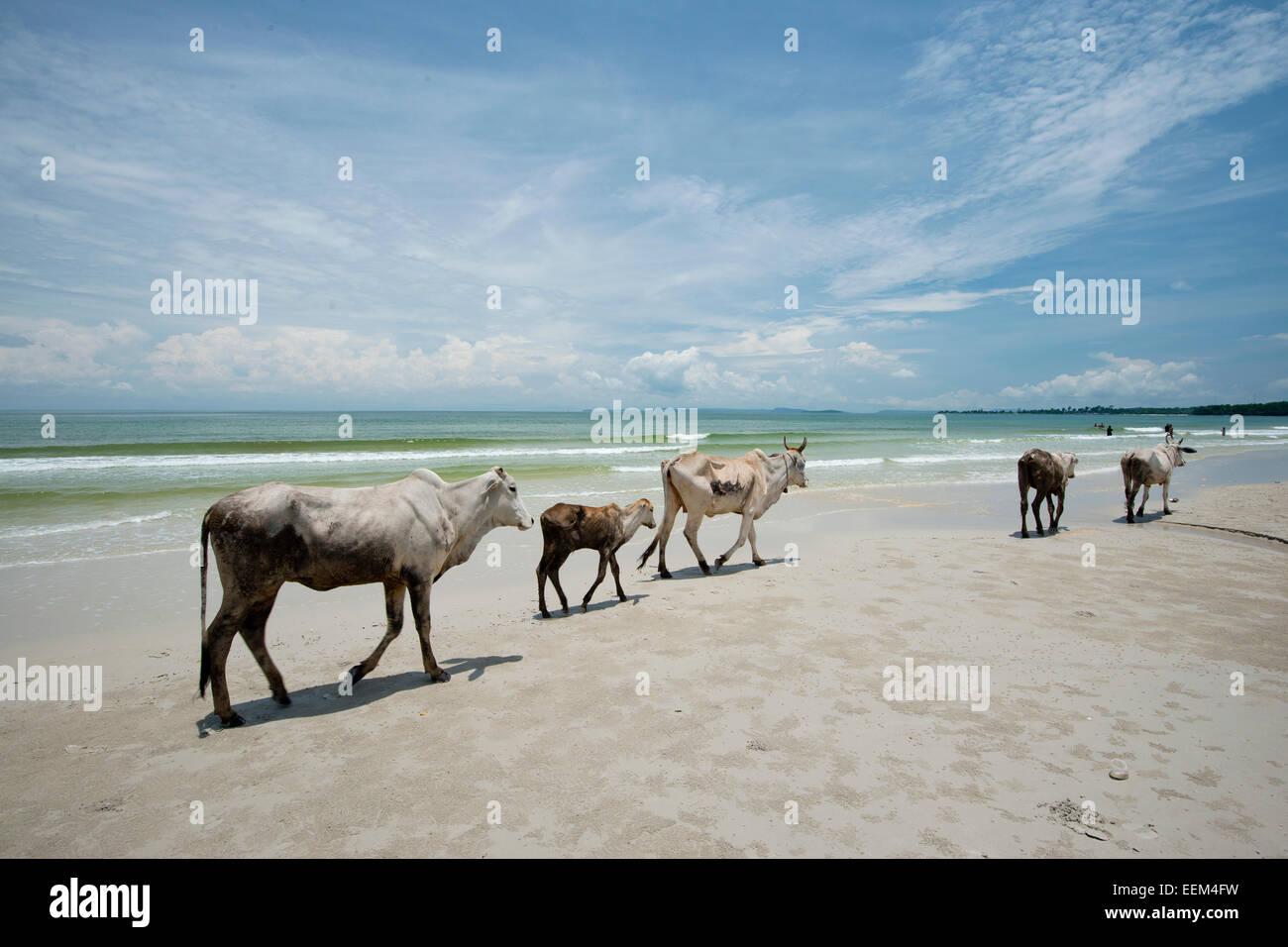 Cows walking on the beach, Otres Beach, Sihanoukville, Preah Sihanuk, Cambodia - Stock Image