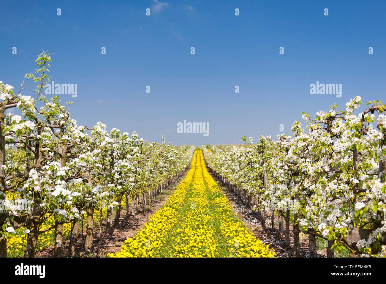 Fruit tree plantation, orchard, flowering fruit trees growing in rows, Dandelion (Taraxacum officinale) growing - Stock Image
