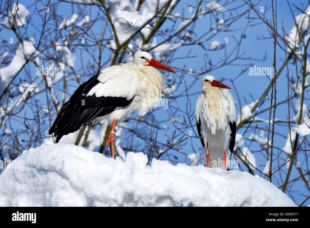 White Storks (Ciconia ciconia), couple standing on snowy nest, Switzerland - Stock Image