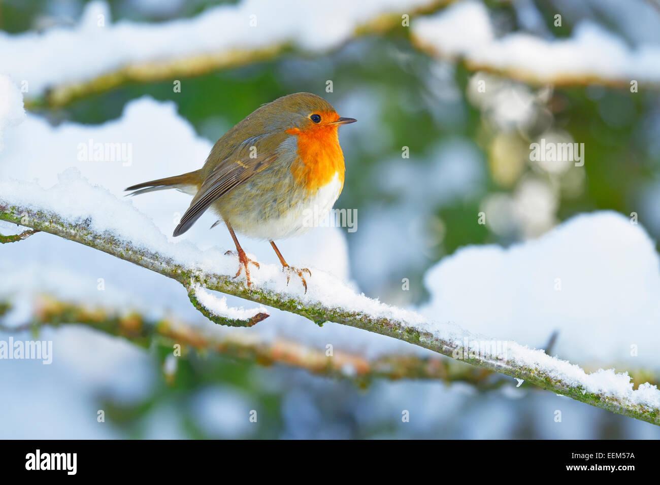 European Robin (Erithacus rubecula), sitting on snowy branch, Switzerland - Stock Image