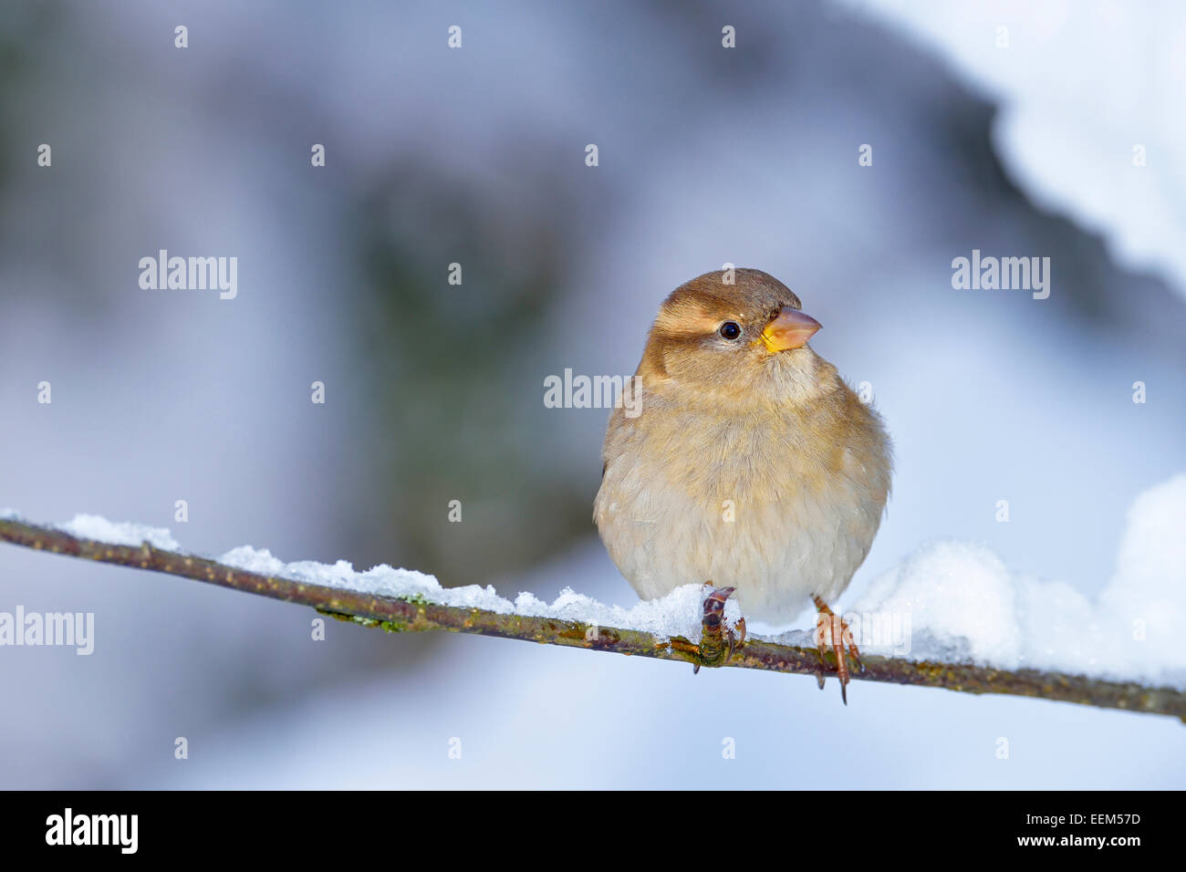 Young House Sparrow (Passer domesticus), female, sitting on twig, Switzerland - Stock Image