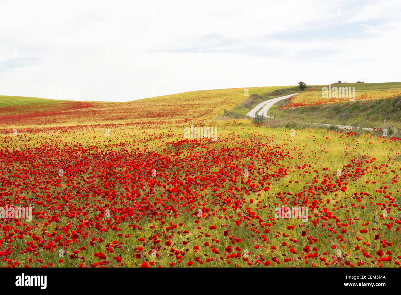Field full of poppies flowers traversed by a winding ,unpaved ,country road - Stock Image
