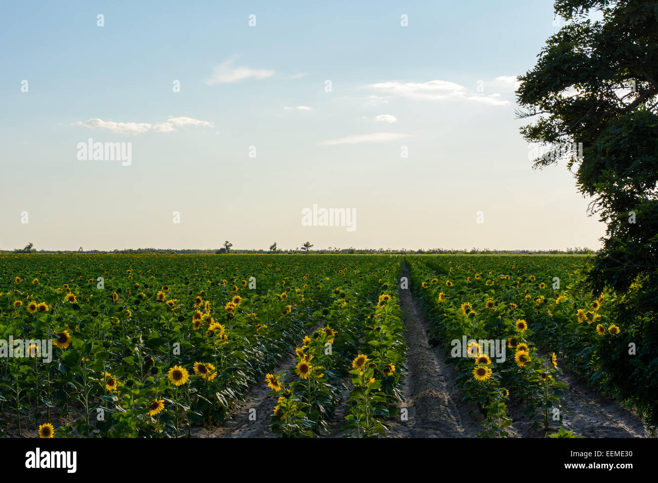 Sunflowers sea, sky, forest - Stock Image
