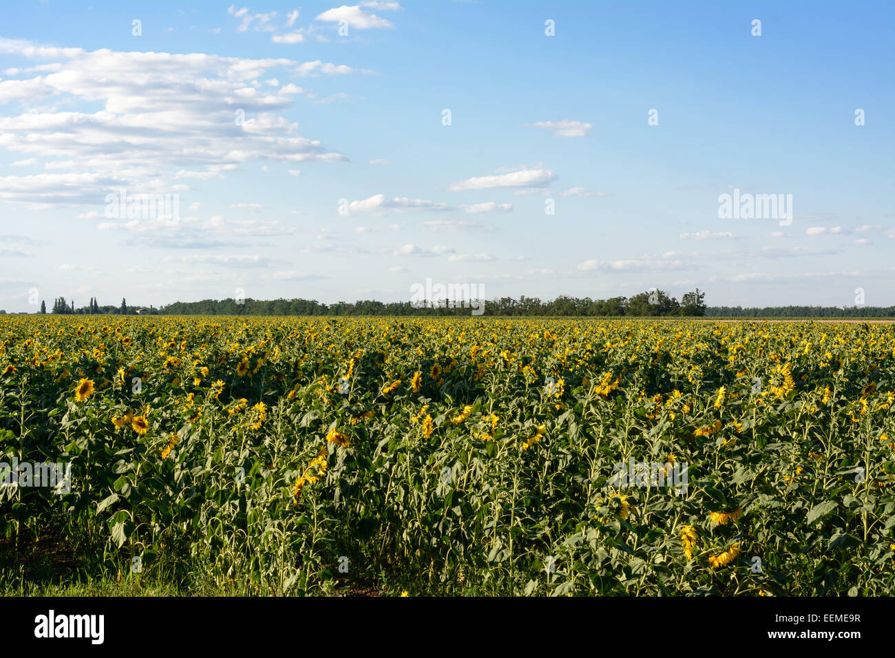 Field of sunflowers, the sky and clouds - Stock Image