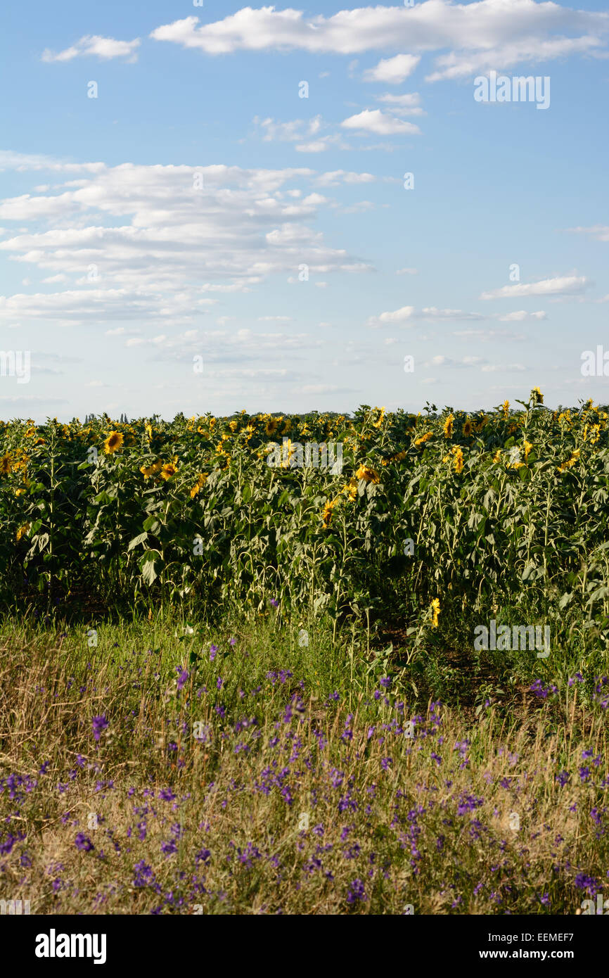 Field of sunflowers, sky, clouds and flowers - Stock Image