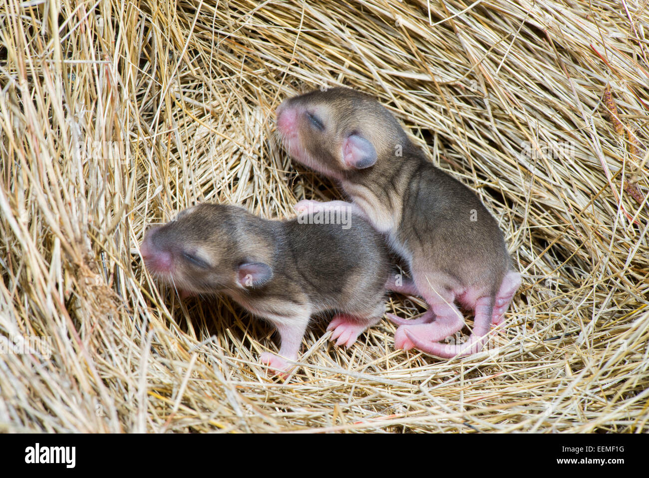 White-throated Woodrat  Neotoma albigula Tucson, Pima County, Arizona, United States 10 Janaury        Immatures - Stock Image