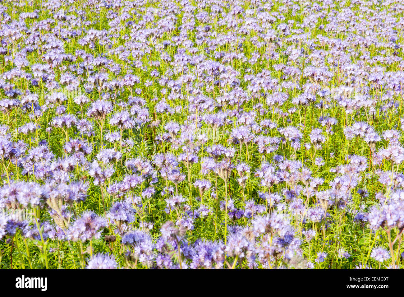 Field of purple wildflowers in green flowerbed for honey bees - Stock Image