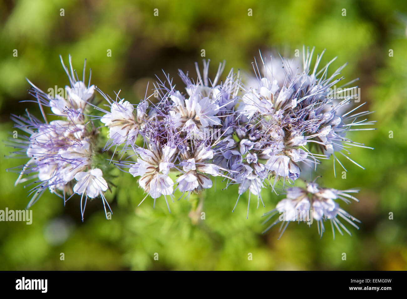 Lila wildflower in close up against green foliage background Stock Photo