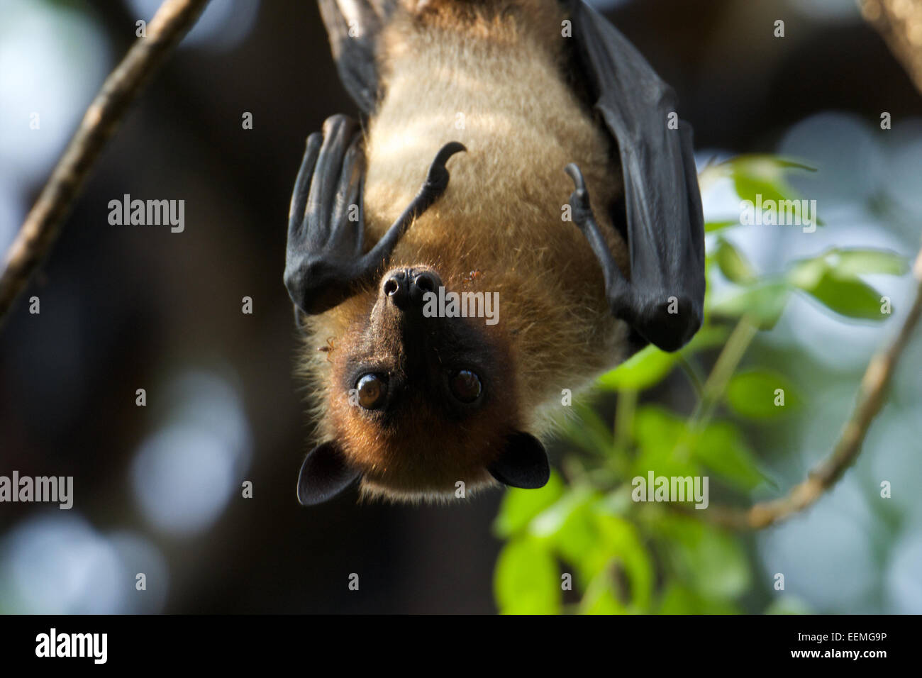Lyle's flying fox (Pteropus lylei) is a species of bat in the family Pteropodidae. Stock Photo