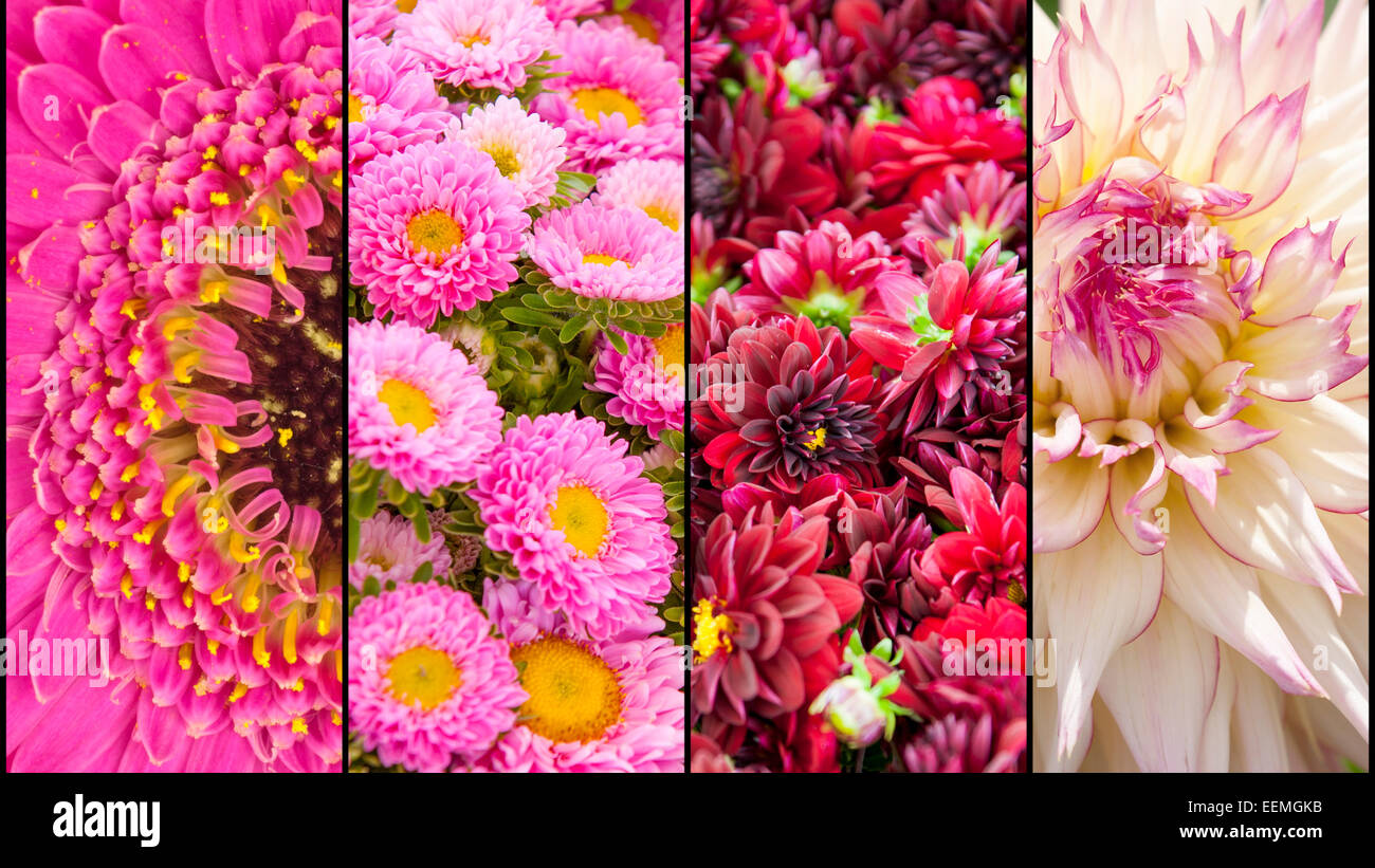 Collage of pink purple lila Dahlia and Gerbera with yellow accents in close up separated with black strips - Stock Image