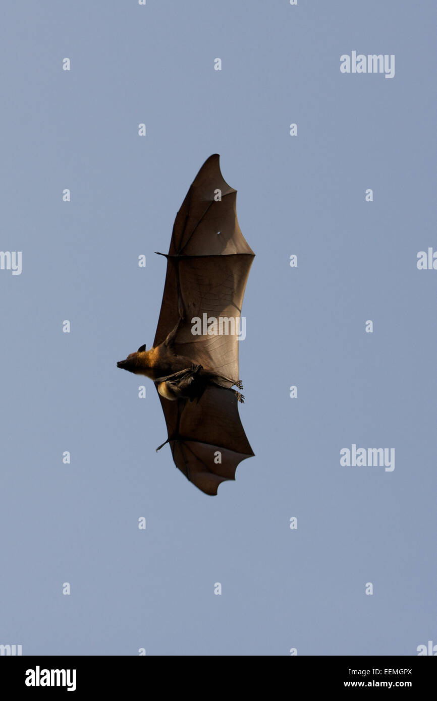 Lyle's flying fox (Pteropus lylei) is a species of bat in the family Pteropodidae. It is found in Cambodia, Thailand Stock Photo