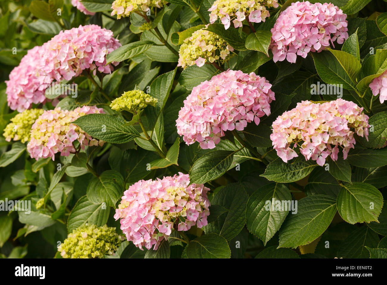 Hydrangea macrophylla. Donostia. San Sebastian. Euskadi. Vasque country. Spain. Europe - Stock Image