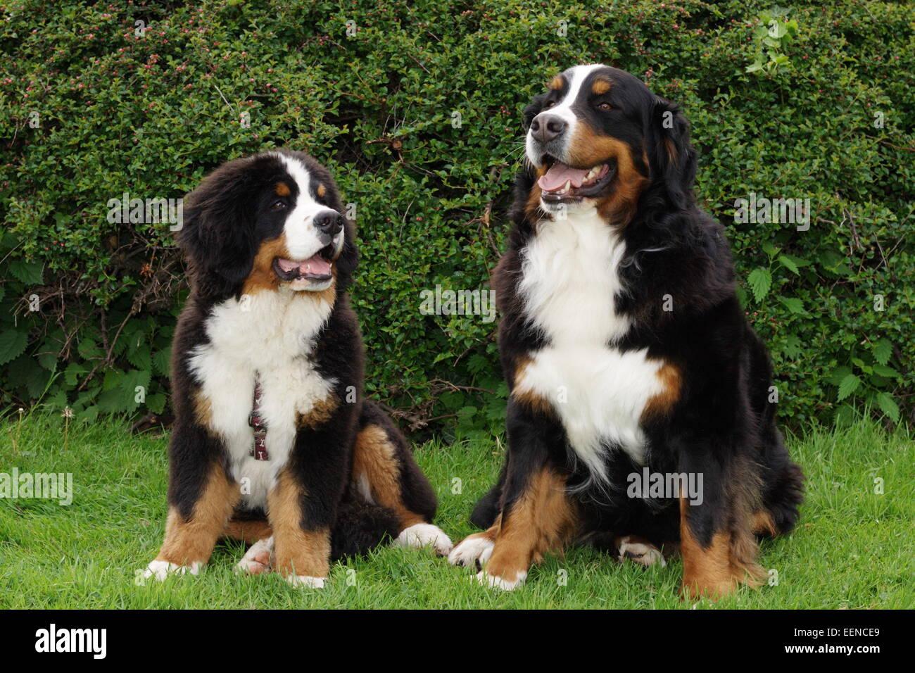 Berner Sennenhund Welpe und erwachsener Sennenhund sitzten nebeneinander im Garten - Stock Image