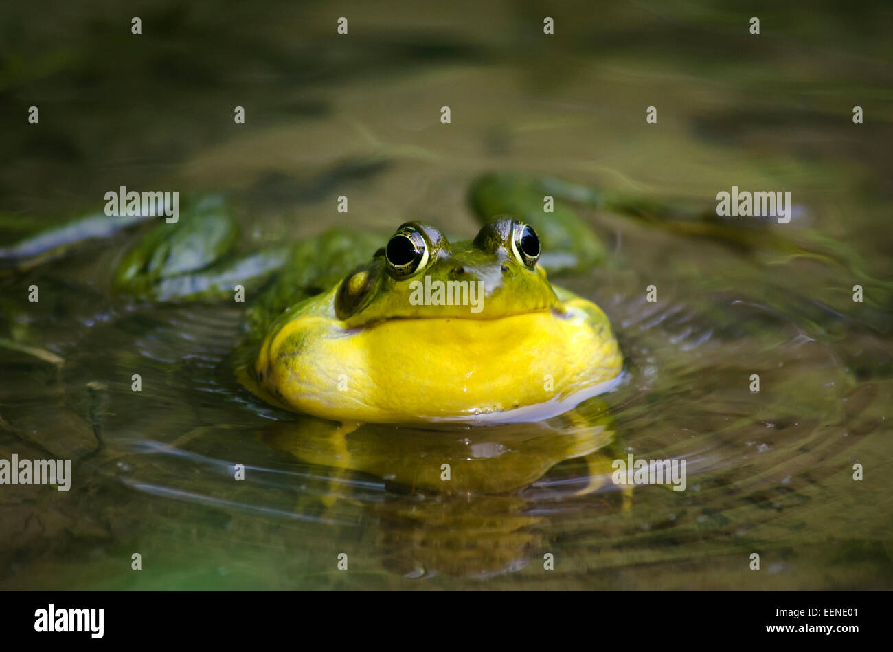 Frog close up in pond calling for a mate. - Stock Image