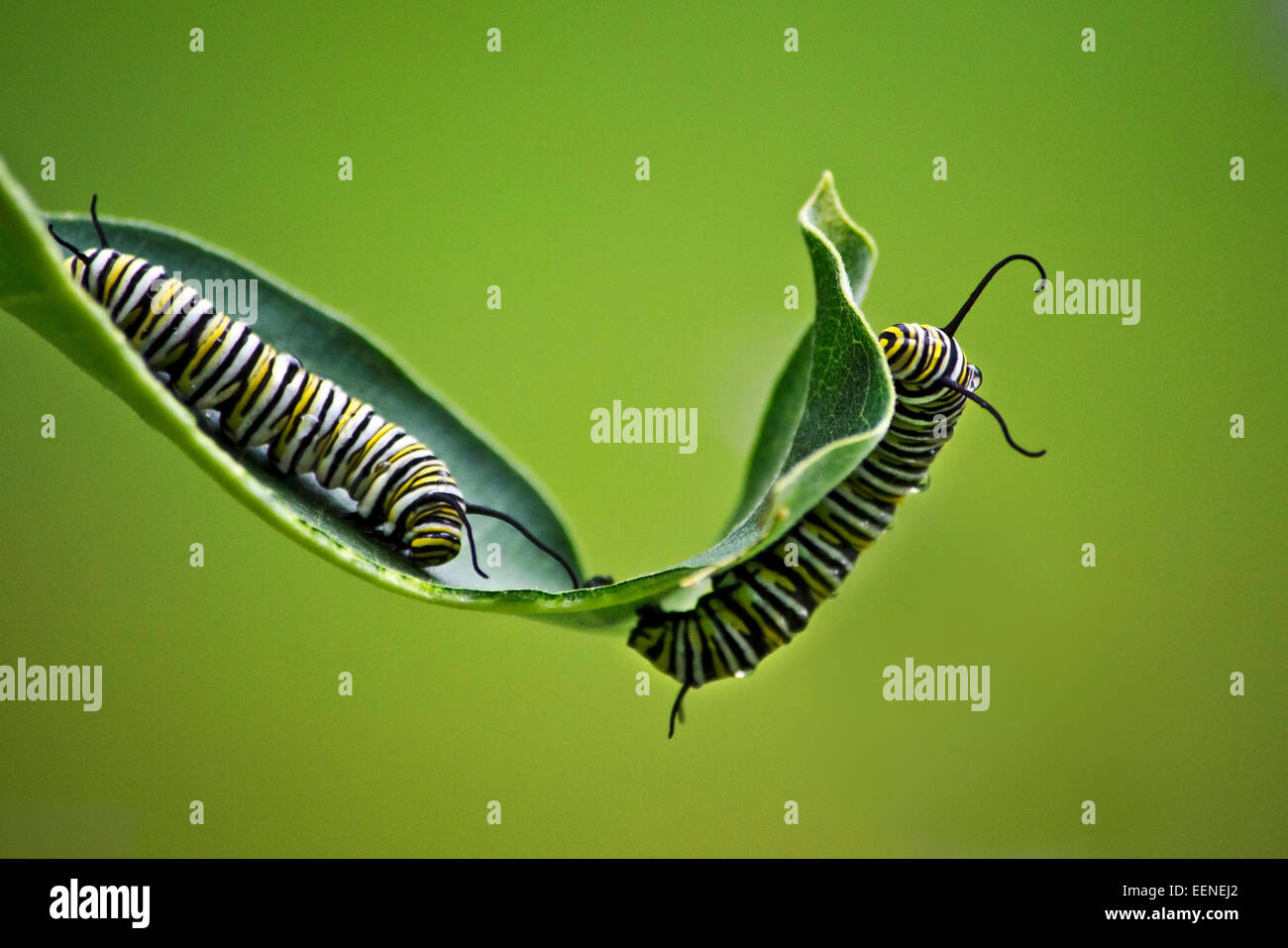 Monarch Caterpillars feeding on milkweed plant. - Stock Image