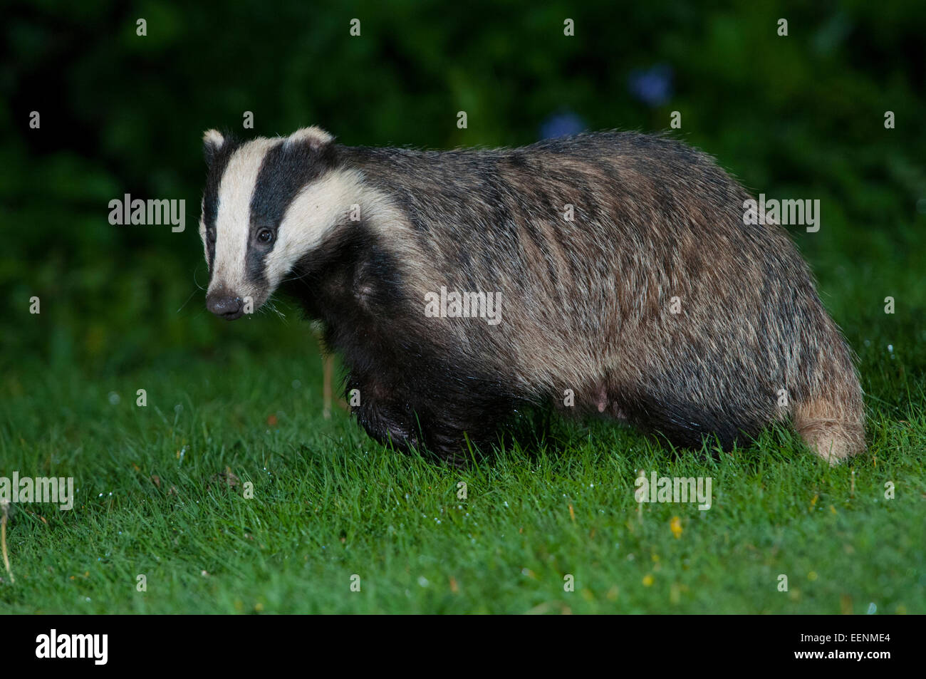 A female badger at night in suburban garden, Hastings, East Sussex, UK - Stock Image
