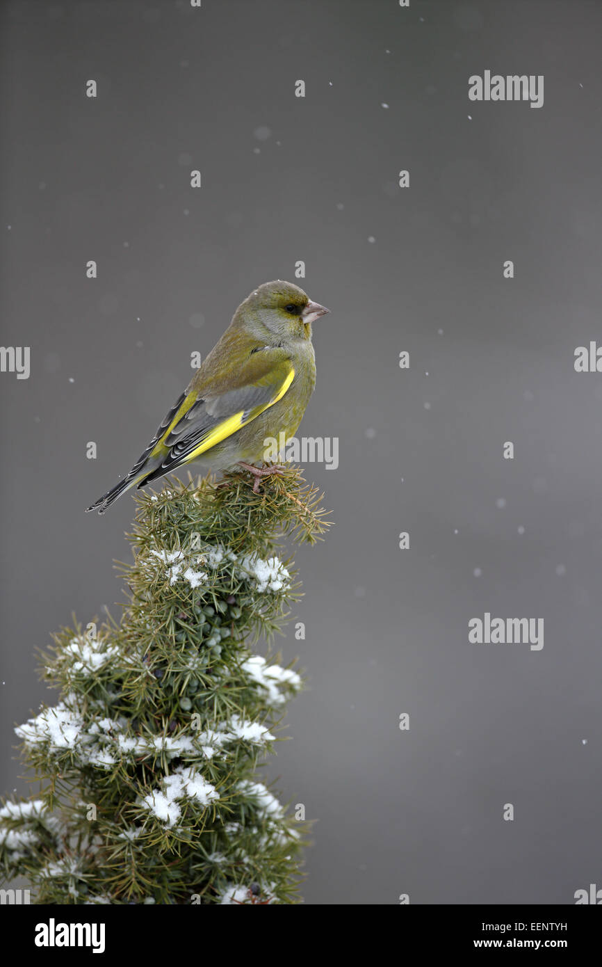 (European) Greenfinch, Carduelis chloris, on snow-clad Juniper bush - Stock Image