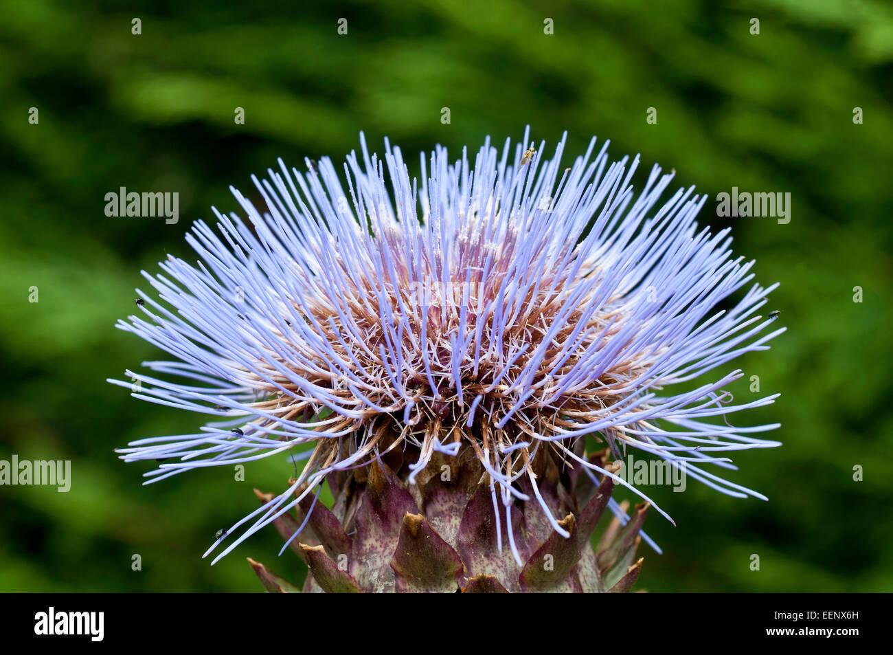 Cardoon flowerhead - Stock Image